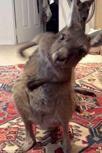 Hilarious video shows Kangaroo farting before wafting the smell away with one and hand