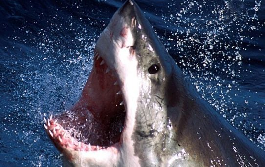 Great white shark Hilton, 1,326-pound real life 'Jaws,' spotted off Gulf Coast