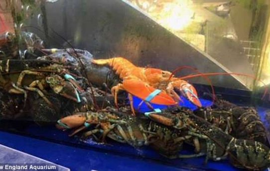 Rare orange lobster is discovered in a Massachusetts supermarket